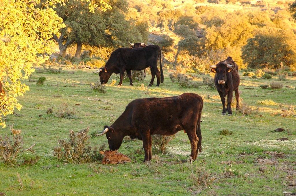 Vaca Sayaguesa cuidando terneros